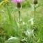 Marc Chouillou - Centaurea uniflora Turra