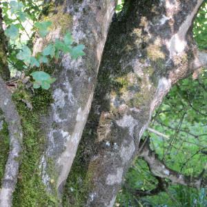 Photographie n°292678 du taxon Acer monspessulanum L. [1753]