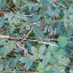 Photographie n°292679 du taxon Acer monspessulanum L. [1753]