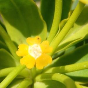Photographie n°292723 du taxon Euphorbia dendroides L. [1753]