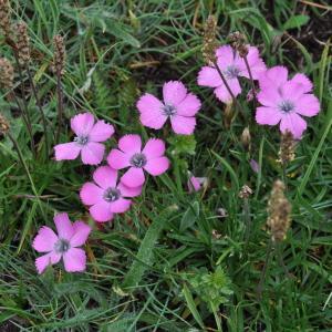 - Dianthus pavonius Tausch