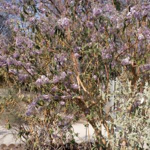Photographie n°292903 du taxon Buddleja davidii Franch. [1887]