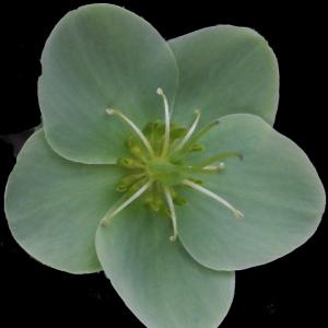 - Helleborus lividus subsp. corsicus (Briq.) P.Fourn.