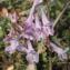 Liliane Roubaudi - Corydalis cava (L.) Schweigg. & Körte