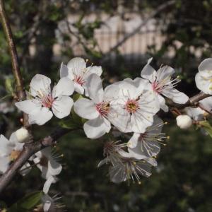 Photographie n°293121 du taxon Prunus cerasifera Ehrh.