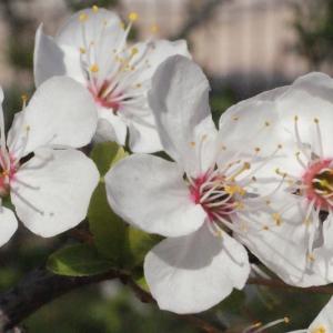 Photographie n°293122 du taxon Prunus cerasifera Ehrh.