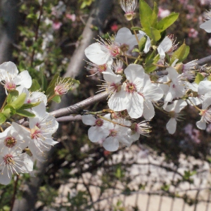 Photographie n°293124 du taxon Prunus cerasifera Ehrh.