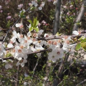 Photographie n°293125 du taxon Prunus cerasifera Ehrh.