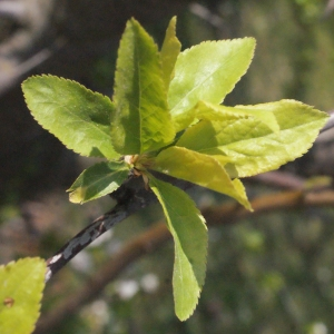 Photographie n°293126 du taxon Prunus cerasifera Ehrh.