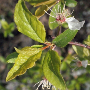 Photographie n°293127 du taxon Prunus cerasifera Ehrh.