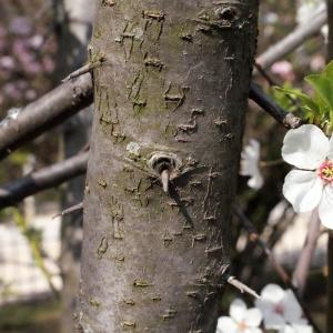 Photographie n°293128 du taxon Prunus cerasifera Ehrh.