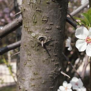 Photographie n°293129 du taxon Prunus cerasifera Ehrh.
