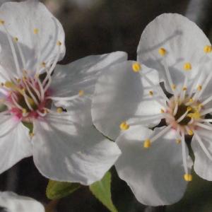 Photographie n°293130 du taxon Prunus cerasifera Ehrh.