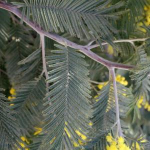 Photographie n°293145 du taxon Acacia dealbata Link [1822]