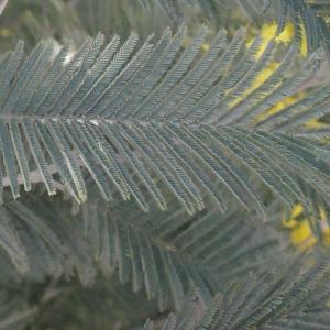Photographie n°293146 du taxon Acacia dealbata Link [1822]