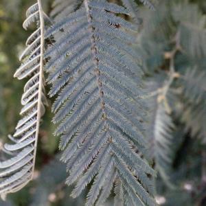 Photographie n°293147 du taxon Acacia dealbata Link [1822]