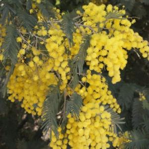 Photographie n°293149 du taxon Acacia dealbata Link [1822]