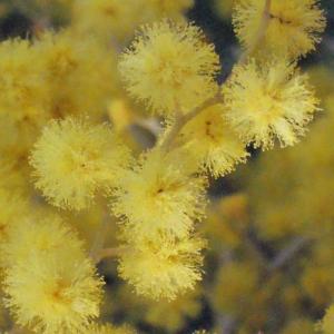 Photographie n°293151 du taxon Acacia dealbata Link [1822]