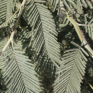 Photographie n°293155 du taxon Acacia dealbata Link [1822]