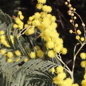 Photographie n°293156 du taxon Acacia dealbata Link [1822]