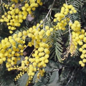 Photographie n°293157 du taxon Acacia dealbata Link [1822]