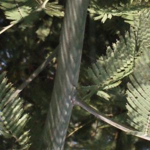 Photographie n°293161 du taxon Acacia dealbata Link [1822]
