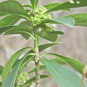 Photographie n°293220 du taxon Daphne laureola L. [1753]