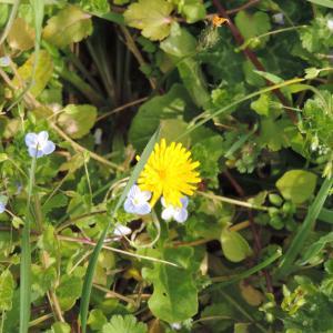 Photographie n°293430 du taxon Crepis sancta (L.) Bornm. [1913]