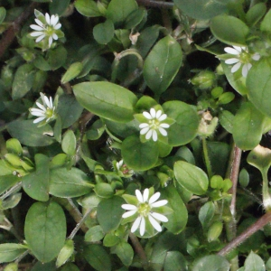 Photographie n°293605 du taxon Stellaria media (L.) Vill. [1789]