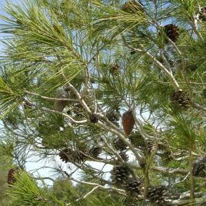 Photographie n°293653 du taxon Pinus halepensis Mill. [1768]