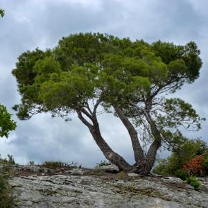 Photographie n°293655 du taxon Pinus halepensis Mill. [1768]