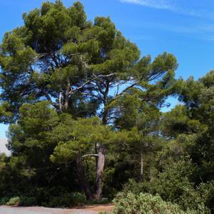 Photographie n°293656 du taxon Pinus halepensis Mill. [1768]