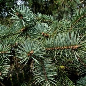 Photographie n°293664 du taxon Picea pungens Engelm. [1879]