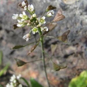 Photographie n°293674 du taxon Capsella bursa-pastoris (L.) Medik.