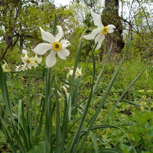 Photographie n°293692 du taxon Narcissus poeticus sensu L. [1754]