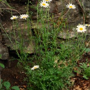 Photographie n°293695 du taxon Leucanthemum monspeliense (L.) H.J.Coste [1903]