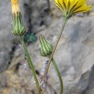 Photographie n°294012 du taxon Crepis sancta (L.) Bornm. [1913]