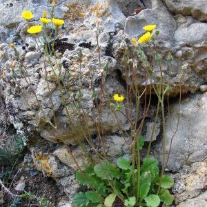 Photographie n°294013 du taxon Crepis sancta (L.) Bornm. [1913]