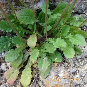 Photographie n°294014 du taxon Crepis sancta (L.) Bornm. [1913]