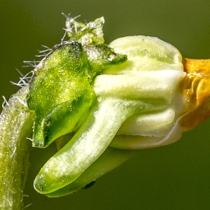 Photographie n°294018 du taxon Viola hirta L. [1753]