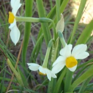 Photographie n°294024 du taxon Narcissus tazetta L.