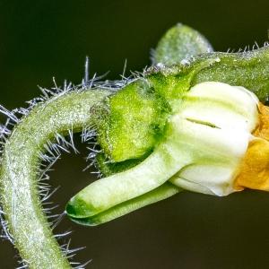 Photographie n°294026 du taxon Viola hirta L.