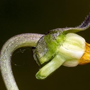 Photographie n°294027 du taxon Viola hirta L. [1753]