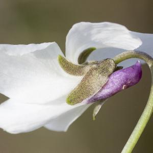 Viola odorata L. [1753] (Violette odorante)