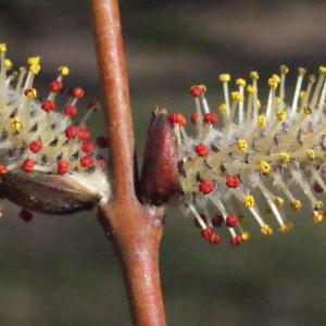 Salix alba L. (Osier blanc)