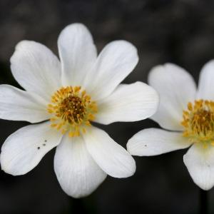 Anemone baldensis L. (Anémone du mont Baldo)