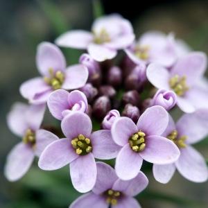 Noccaea rotundifolia (L.) Moench (Tabouret à feuillles rondes)