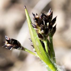 Photographie n°294110 du taxon Luzula multiflora (Ehrh.) Lej.