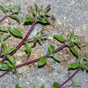 Photographie n°294119 du taxon Saponaria ocymoides L.