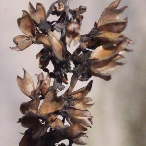 Photographie n°294152 du taxon Buddleja davidii Franch. [1887]